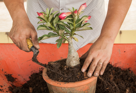 A man planting red Adenium obesum with soil and shovel photo