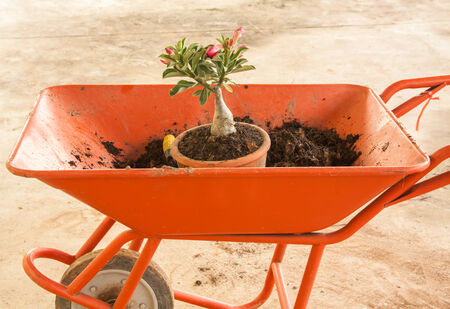Planting a red Adenium obesum with soil and shovel photo