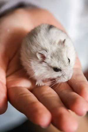 Cute little hamster on girl photo