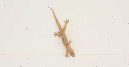 Little lizard hang on the wall with sticky legs