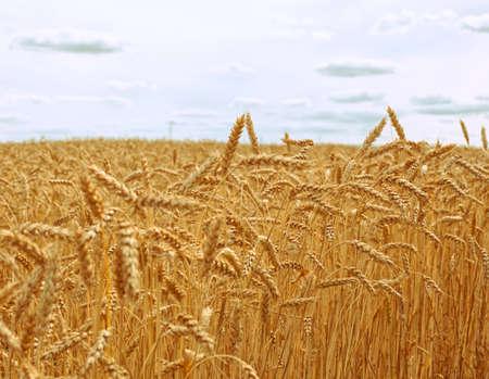 Wheat field on blue sky background