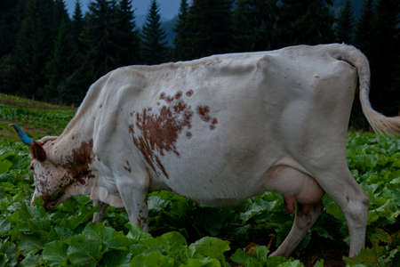 cow with blue horns grazes in the mountains