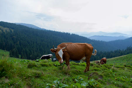 cow grazes on a grassy meadow in the mountains on freedom