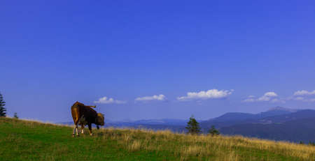 young bulls on top of a mountain against a blue sky