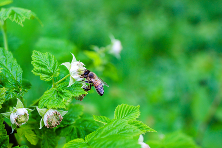pollinate: Bee pollinate on flower of raspberry, nature background