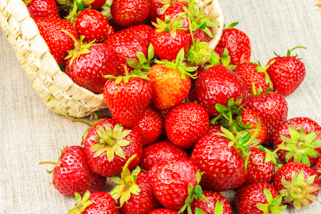 poured: Full basket of ripe strawberries that are poured out on the canvas