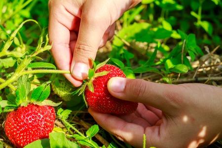 picks: Child hand picks ripe strawberries in the garden, close-up