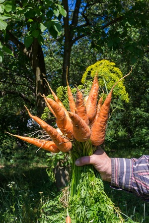 Hand holding bunch of fresh, organic vegetables carrots, onion dill, bundle