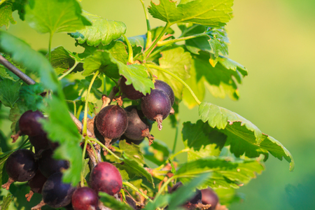 ribes: Jostaberry on a bush, hybrid of gooseberry and currant Stock Photo
