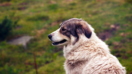Portrait of central asian shepherd dog, outdoors