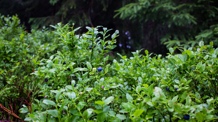 blueberry bushes: Organic blueberry bush with berries in Carpathian mountains.