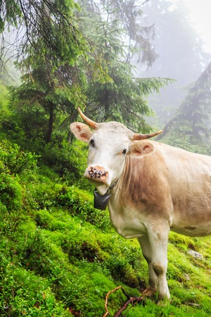 rain forest animal: Fabulous scenery, cow grazing on the hill in fog, Carpathian mountains, Ukraine Stock Photo
