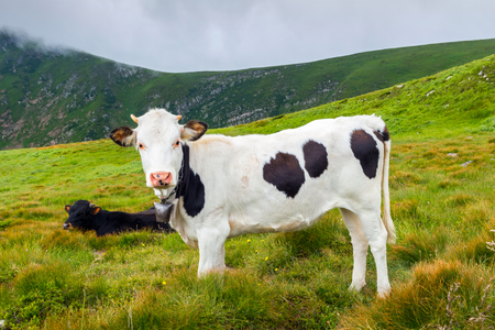 White cow with black spots and few other cows grazing on the wild nature, top of Carpathian mountains