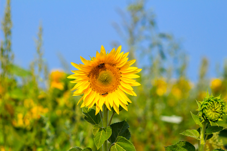 helianthus: Blooming sunflower in the field under blue sky, bee collects pollen, organic background