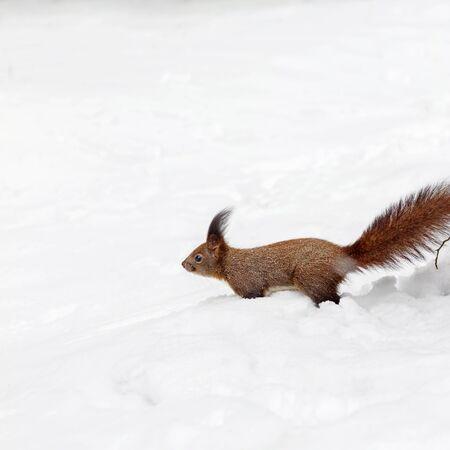 ardilla: One red squirrel on the white snow in winter season