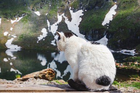 Cat sitting on the wooden planks near the Balea lake in Fagaras mountains with white spots of snow at Carpathians, Romania.