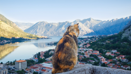 Cat sitting high on the hill and looking down on the the city Kotor and gorgeous bay in the morning, Montenegro. 写真素材