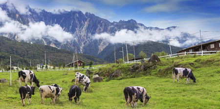 Cows on a green field with beautiful scenery at Kundasang and view of Mount Kinabalu, Sabah, Malaysia. Stockfoto