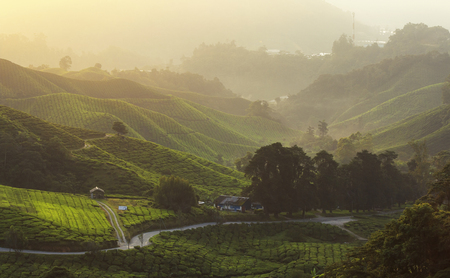 Highlight and shadow at tea field, Cameron Highlands with Haze and smoke effect at the mountain, Malaysia 写真素材