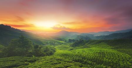マレーシアのキャメロンハイランドにある茶畑の日の出。