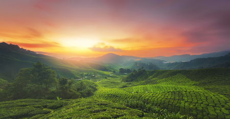 Lever du soleil de plantation de thé à Cameron Highland, Malaisie.