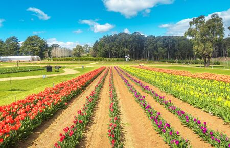 Beautiful Rows of tulips at Dandenong Ranges, Melbourne, Australia. 免版税图像 - 125030281
