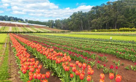 Beautiful Rows of tulips at Dandenong Ranges, Melbourne, Australia. 免版税图像 - 125030284
