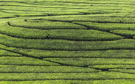 Fresh tea bud and leaves. Tea leaves pattern at a plantation. 免版税图像 - 130024872