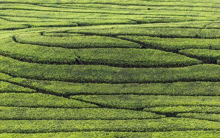 Fresh tea bud and leaves. Tea leaves pattern at a plantation.