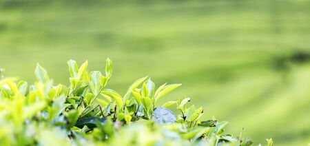 Fresh tea bud and leaves. Tea leaves at a plantation with blur background and one spot focus. 版權商用圖片