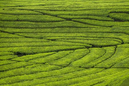 Fresh tea bud and leaves. Tea leaves pattern at a plantation. 免版税图像 - 130025747