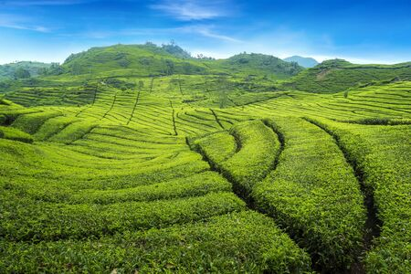 Beautiful Scenery of Tea Plantation view at ciwidey, Bandung West Java, Indonesia. 免版税图像 - 130025748