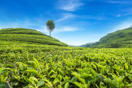 Beautiful Scenery of Tea Plantation view at ciwidey, Bandung West Java, Indonesia.