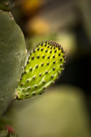 Small thorny leaf of the prickly pear cactus plant in mediterran area Stock Photo - 15464688
