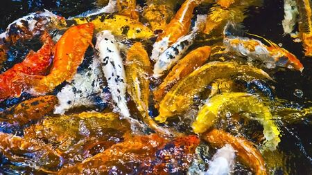 brilliant   undersea: Decorative, colorful goldfish  background, wallpaper