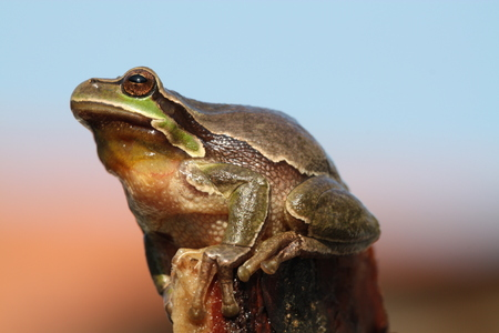 common hop: Tree frog Hyla arborea Stock Photo