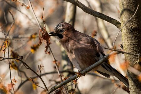 eurasian: The Eurasian jay in a tree Stock Photo