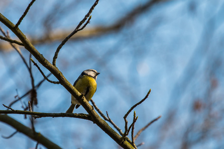 blue tit: Blue tit in a tree Stock Photo