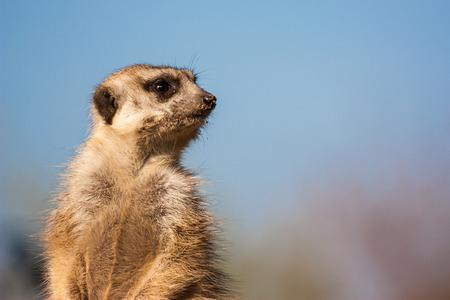 Meerkat sitting and watching