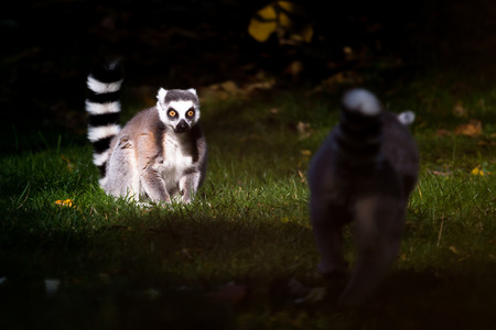 yellow tailed: Pair of ring-tailed lemurs