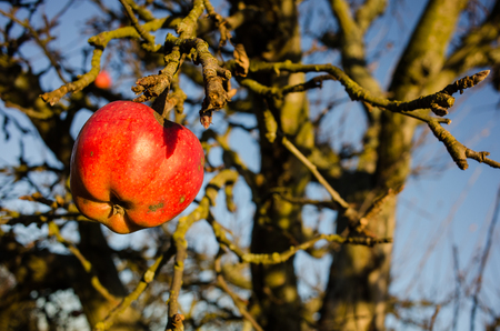 Last apple in the winter