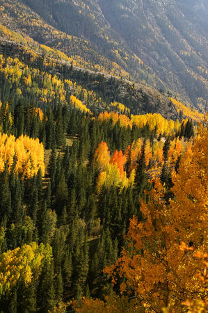 San Juan Mountain aspens in autumn in full color
