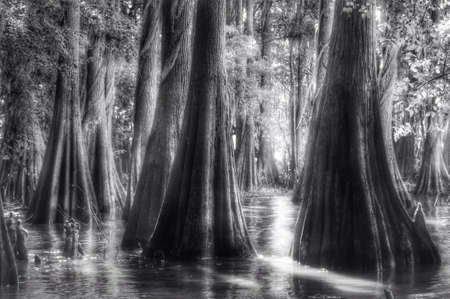 bayou: Bayou and bald cypress stand at Caddo lake Stock Photo