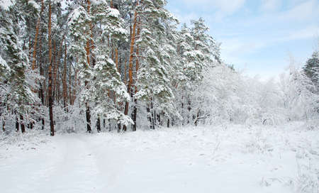 snowscene: Forest after a snow-fall on a background blue sky