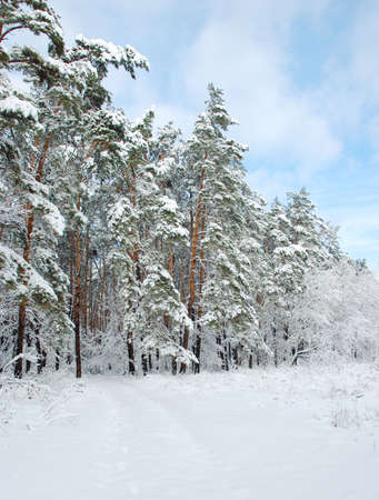 snowscene: Forest after a snow-fall