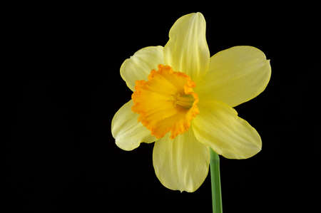 gentile: Yellow daffodil isolated on a black background