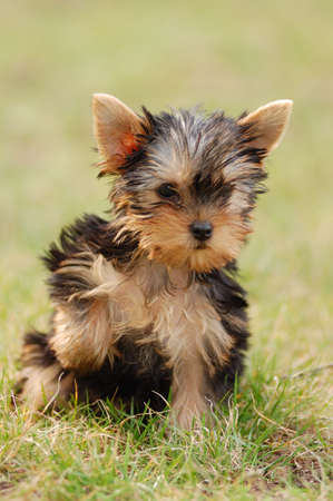 beautiful puppy of the yorkshire terrier in a grass