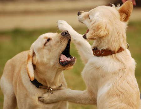 cani che giocano: due cani che giocano nellerba