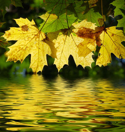 Yellow maple leaves with a reflection in water