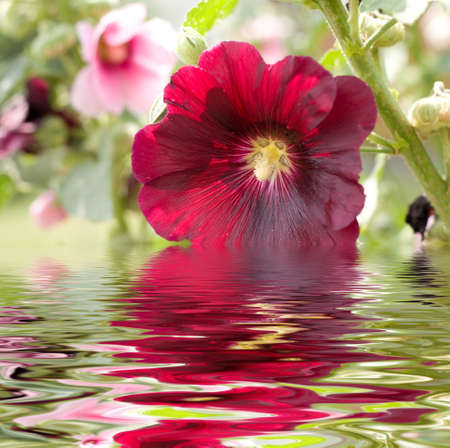 Beautiful flower with a water reflection. Stock Photo